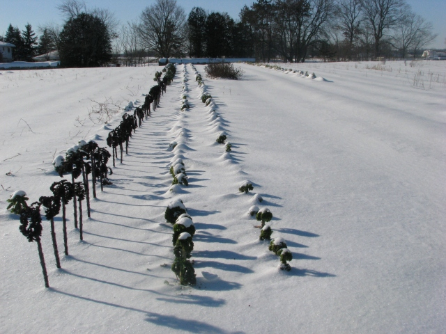 The three Kale rows are getting to be more and more covered in snow.