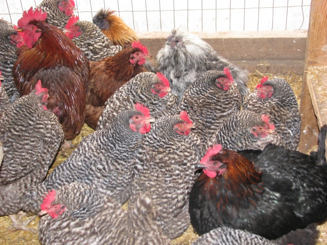 They are staying inside for now; 13 barred rock hens with a single Marans rooster, a single red silkie rooster, a single grey silkie rooster, a single rhode island red hen and a single Marans hen, the coppery black hen.