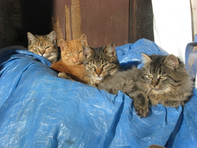 The four little kittens are  not so little now.  the are on the front porch in the sun out of the wind and arte very warm there.