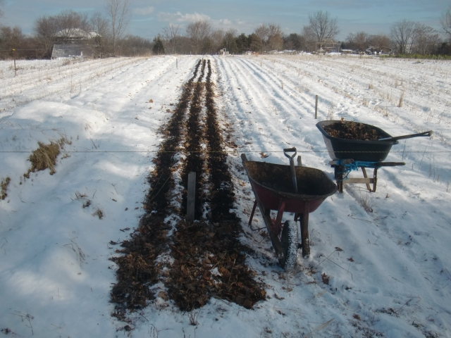 A little over a week ago Aerron was working covering the garlic with leave mulch and compost.