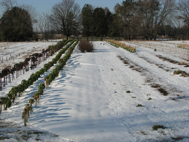 The three kale rows are to the left but notice how the snow has drifted and is deeper just to the right of the kale.  Leaving something in the garden like the kale is good for trapping snow and for making the snow cover deeper.