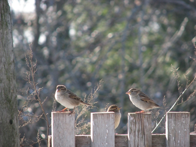 One of the more successful species, I think. A trio of sparrows but I'm not sure which kind. They stay around the chicken house to eat the chicken food.