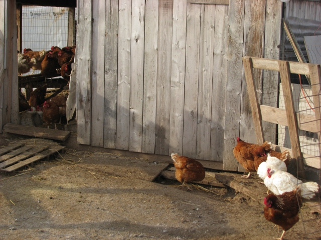 Some of the hens inside on the roosts and some in the corner in the sun.