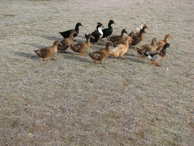 The herd of ducks
