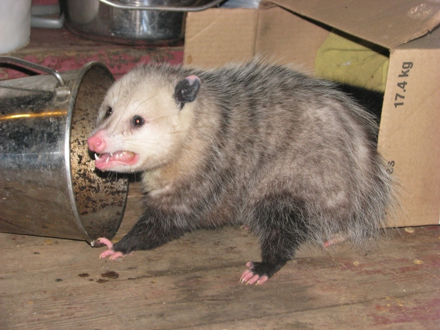 The opossum eating scraps and cat food from the kitchen compost bucket.  He looks quite well filled out, well fed, lots of cat food, nice sharp teeth and those are both his front legs. He was unmoving and quiet.