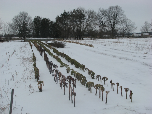 Last season's Kale rows are now looking pretty drab
