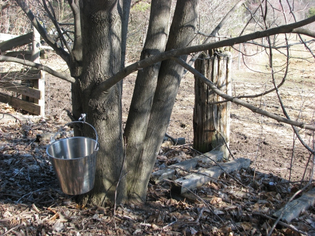 A single tap on the sugar maple by our house. Not the usual sap bucket, this is actually a stainless steel dairy bucket.  Most of our sap buckets plastic.