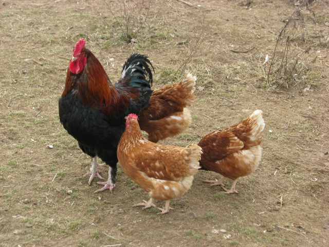 A Black Copper Marans rooster with three ISA hens.