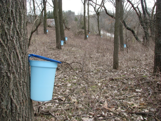 The Walnut forest with several trees, all black walnut, tapped for their sap to make into walnut syrup.